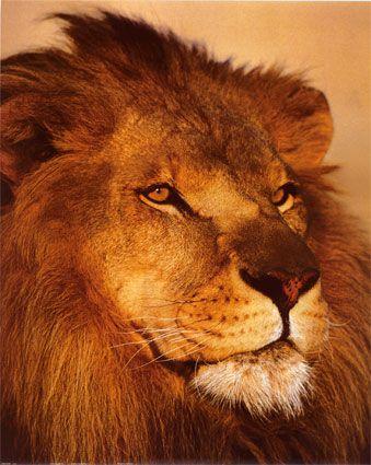 Lion on Adore La Savane     A Me Fais R  Ver Pas Vous